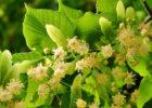 kwiatostan lipy