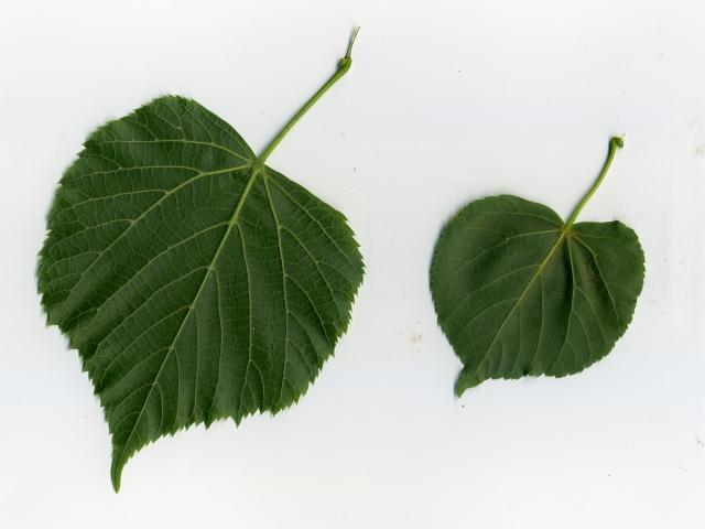 porównanie gatunków lipy